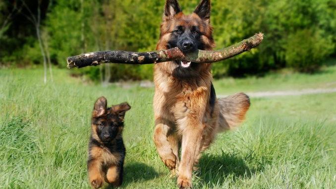 Welpe oder erwachsener Hund?