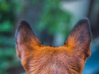Bei Ohrentzündung des Hundes sofort zum Arzt