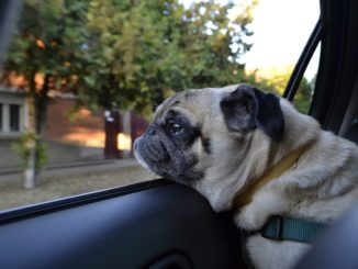 Große oder mehrere Hunde - was beim Autokauf beachten?