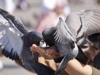Tauben als Haustiere