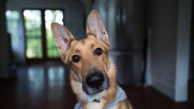 Covid-19: Können Hunde eine Corona-Erkrankung erschnüffeln?