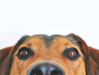 Das Cushing Syndrom beim Hund