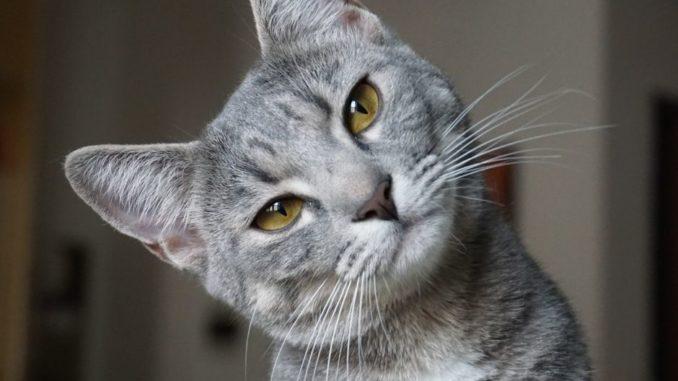 Eosinophiler Granulomkomplex der Katze