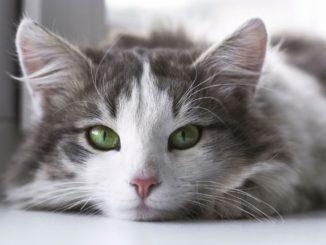 Schilddrüsenüberfunktion (feline Hyperthyreose) bei Katzen