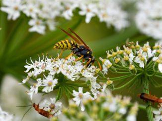 Allergie auf Bienen- und Wespengift beim Hund, wie gefährlich ist das?