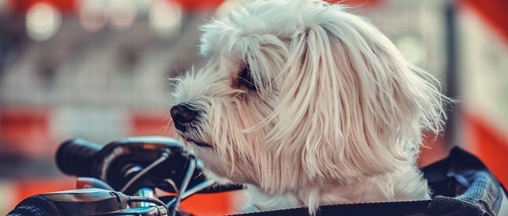 Hund im Lastenrad transportieren - das sollte man beachten